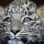 Леопардёнок Гром. Фото: Умар Семёнов