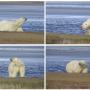 Белый медведь на острове Шокальского.