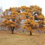 Реликтовые Кужановские лиственницы