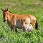 Первый жеребёнок лошади Пржевальского, родившийся в Оренбургских степях. Фото: Александр Чибилёв