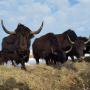 Самая многочисленная группа копытных животных степного стационара «Оренбургская Тарпания» - яки.