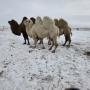 Двугорбые верблюды на степной стационаре Института степи УрО РАН «Оренбургская Тарпания»