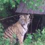 Фото с сайта amur-tiger.ru