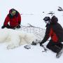 Подготовка к взвешиваю самца белого медведя. Фото: Гавриил Григоров