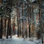 Бор зимой. Фото: Виктор Сосунов