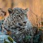 Центр восстановления леопардов на Кавказе. Фото: Умар Семёнов